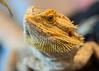 20160824-12_ Bearded Dragon Lizard