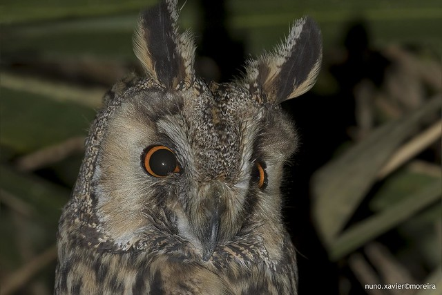 Bufo-pequeno, Long-eared Owl (Asio otus)