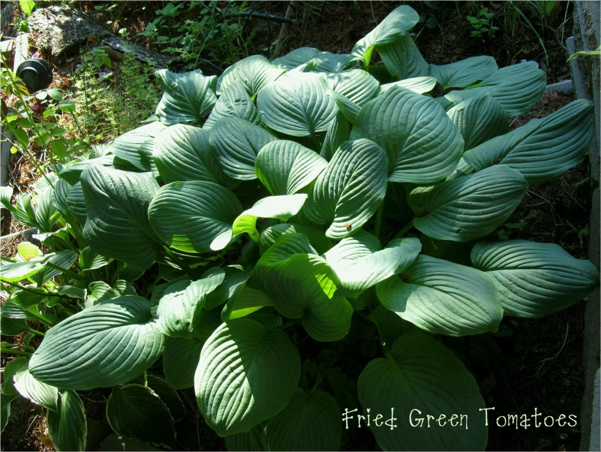 Fried Green Tomatoes 7-1-12 (252)