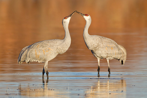 Kissing Cranes by Jeff Dyck