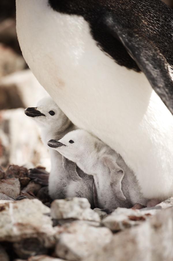 RYALE_Antarctica_Penguins-66