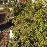 Garden Inventory: Azalea - 4