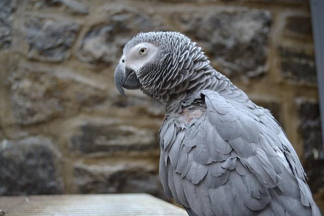 African Grey Parrot in Pierre du Calvet House