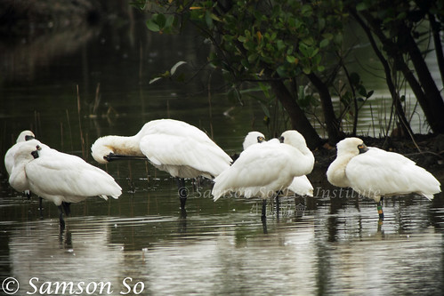 黑臉琵鷺 Black-faced Spoonbill (Platalea minor), showing the colour banded Green-Yellow-Blue.