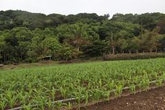 香蕉灣公路以東的農地,有珍貴的紅藻球以豐沛的水源,最適合種植有機蔬菜。