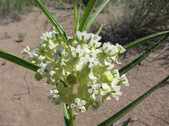 Utah Milkweed