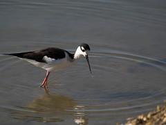 seaduck(0.0), sandpiper(0.0), animal(1.0), charadriiformes(1.0), wing(1.0), fauna(1.0), reflection(1.0), stilt(1.0), shorebird(1.0), beak(1.0), bird(1.0), wildlife(1.0),