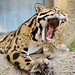 Clouded Leopard Mouth Open