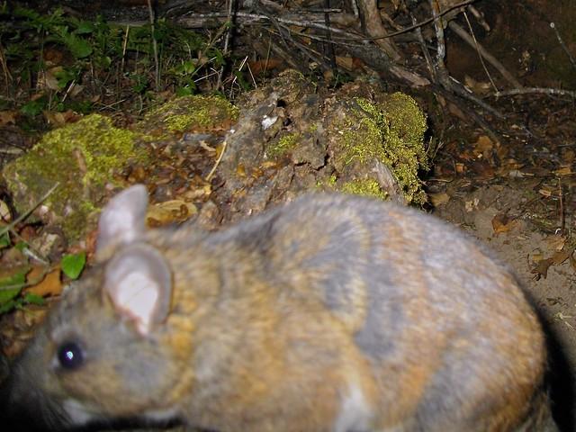 woodrat up close