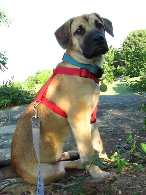 Black Mouth Cur Dogs Problems