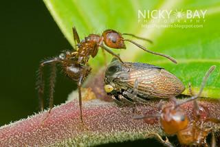 Ants herding a Treehopper (Tricentrus sp.) - DSC_6148