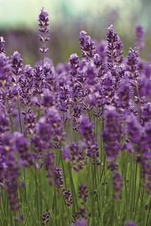 Lavendel - fördert den natürlichen Schlaf