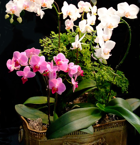 Victoria Orchid Society