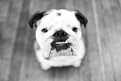 [Free Images] Animals (Mammals), Dogs, Bulldog, Black and White ID:201302201000