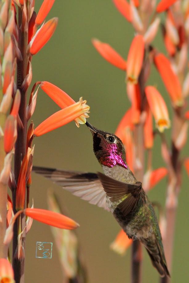 Anna's Hummingbird 021813-2