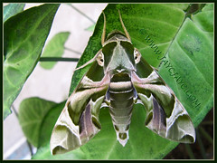 Daphnis nerii (Oleander Hawk-moth) resting on Synogium podophyllum 'Pixie', at our courtyard garden