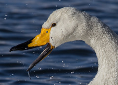 Swans in Kusshiro lake