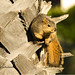 California: Eastern Fox Squirrel