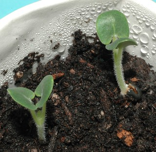 Salvia indica seedlings
