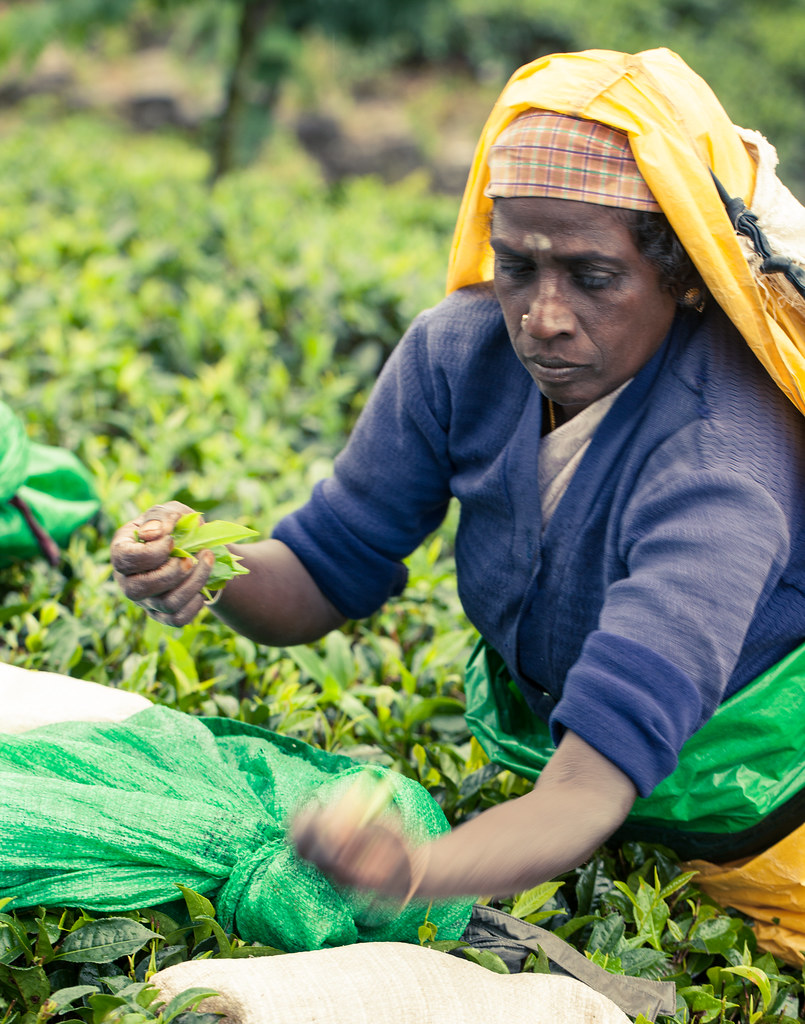 Tea Workers on Tea Plantations - Sri Lanka