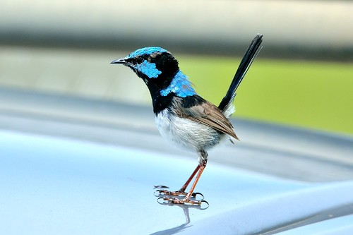Fairy-wren (Superb)