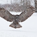 Great Gray Owl Flight Landing by Raymond Lee Photography