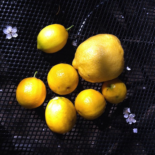 Backyard citrus for the sick ward