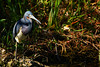 #67 Tricolored Heron by bsmity13