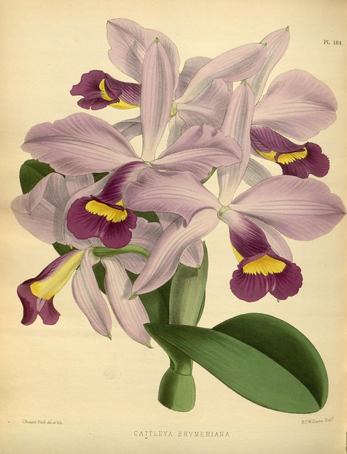 Orchid album :comprising coloured figures and descriptions of new, rare and beautiful orchidaceous plants 1885