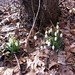 Small photo of Galanthus