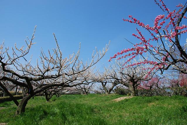 plum_garden_1