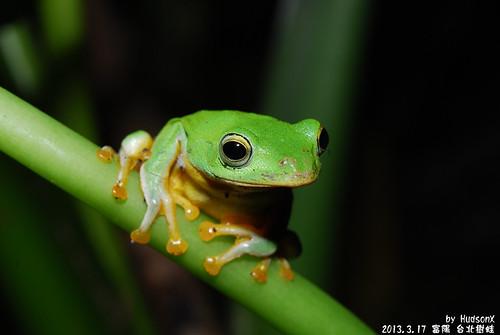台北樹蛙(12)
