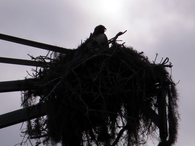 Red-tailed Hawk on Osprey nest