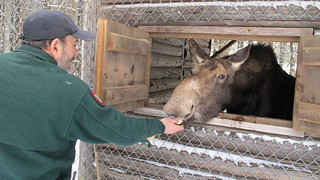 Steven Oliveri, the assistant superintendent of the Maine Wildlife Park feeds Annie the moose.