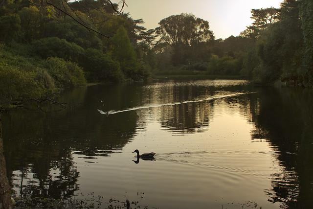 ducks in Golden Gate Park, San Francisco (2012)