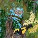 Regent Bowerbird – King Orchids