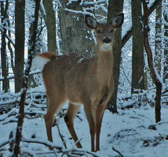 Foraging Whitetail