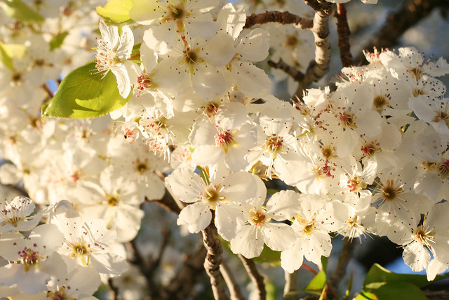 flowering ornamental pear