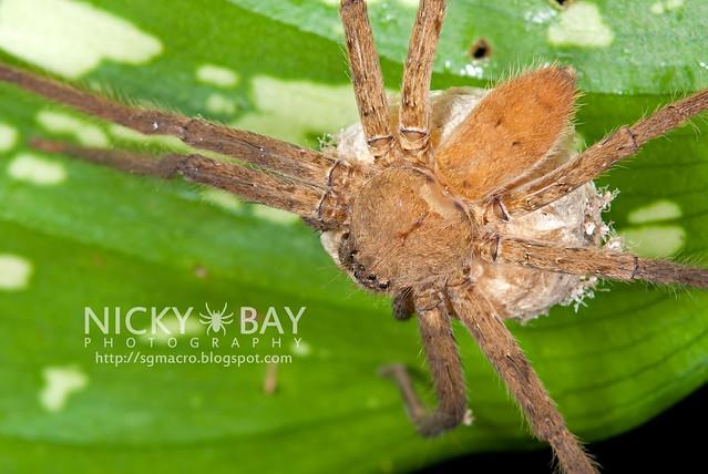 Huntsman Spider (Sparassidae) - DSC_5324