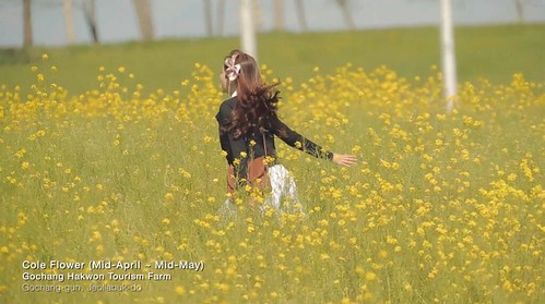 yellow-flowers-korea.jpg