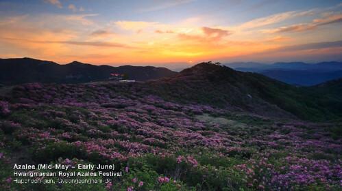 Hwangmaesan-Royal-Azalea.jpg
