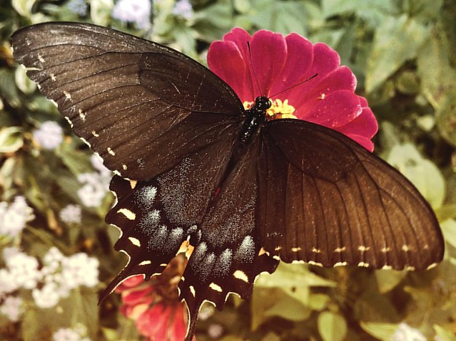 Female Eastern Tiger Swallowtail Butterfly #flowers #gardens #patiogarden #zinnia #zinnias #butterflies #butterfly #swallowtail #easterntigerswallowtail