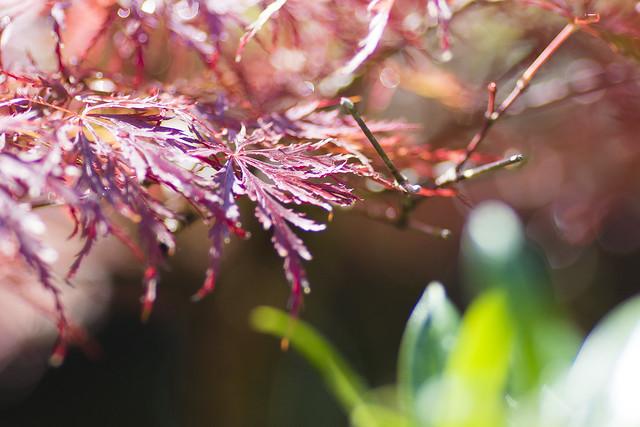 Japanischer Ahorn | Acer japonicum