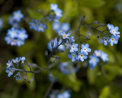 flower, nature, macro photography, flora, forget-me-not, meadow,