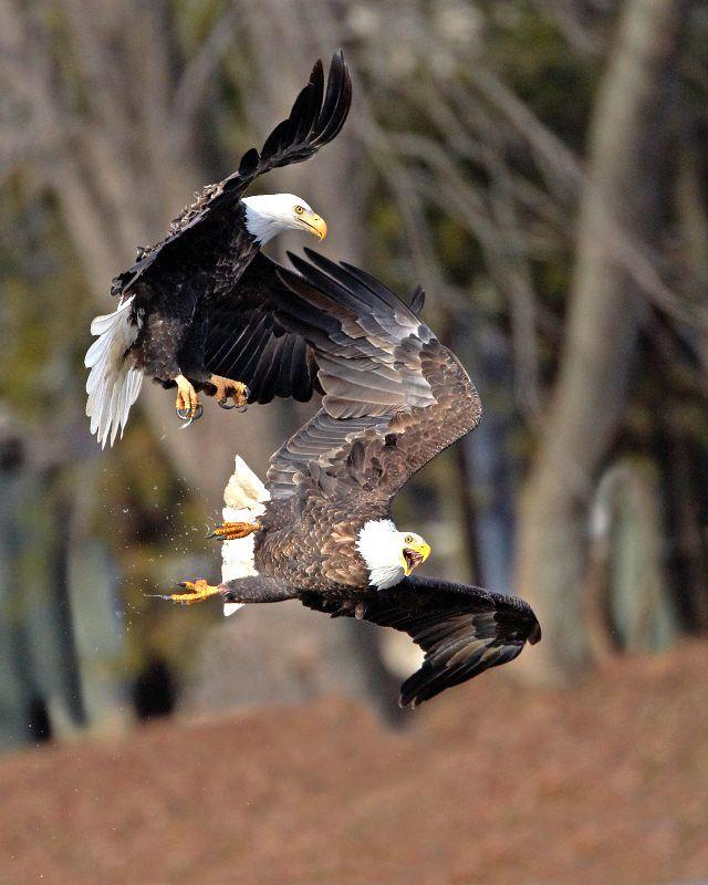 Águilas luchando por su presa en Upper Mississippi River National Wildlife Refuge.