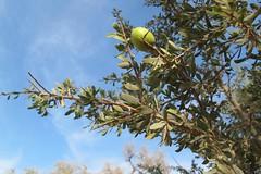 Fruto de argan na arvore perto de Taroudant em Marrocos