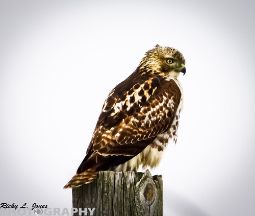 Broad-winged Hawk by Ricky L. Jones Photography