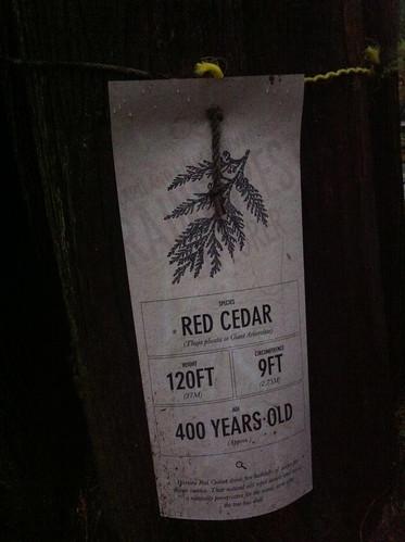 Red Cedar, 400yrs old