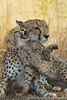 A female cheetah and her playful cub - Phinda Private Game Reserve, South Africa