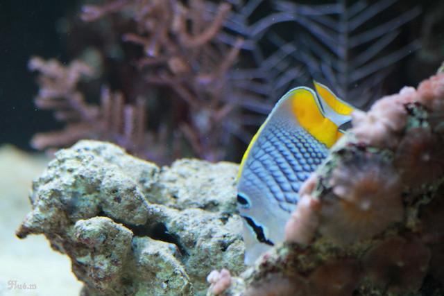 poisson papillon cocher ou chaetodon auriga aquarium porte dor 233 e 03 02 2012 135 flickr photo